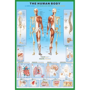 The human body Poster, (61 x 91,5 cm)