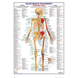 Human Body - Major Muscle Attachments Posterior Poster, (61 x 91,5 cm)