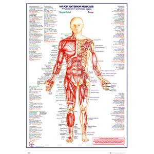 Human Body - Major Anterior Muscles Poster, (61 x 91,5 cm)