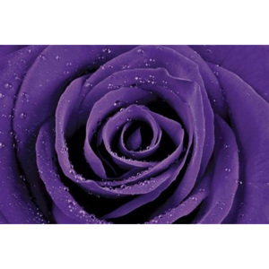 Poster - Purple Rose