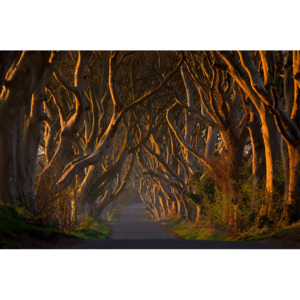 Fotografii artistice The Dark Hedges in the Morning Sunshine, Piotr Galus