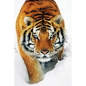 Tiger in the snow Poster, (61 x 91,5 cm)