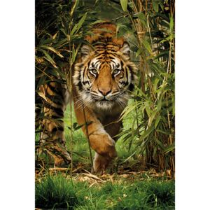 Tiger - Bamboo Poster, (61 x 91,5 cm)