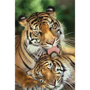 Tigers - mother's love Poster, (61 x 91,5 cm)