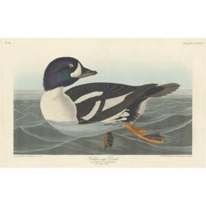 Golden-eye Duck, 1836 Reproducere, John James (after) Audubon