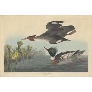 Red-breasted Merganser, 1838 Reproducere, John James (after) Audubon