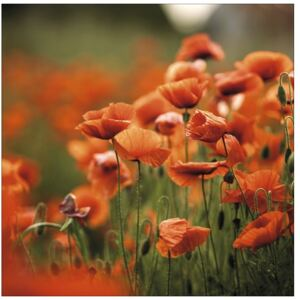 Tablou sticla Orange Poppies I 80x80 cm