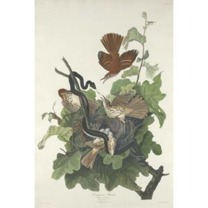 Ferruginous Thrush, 1831 Reproducere, John James (after) Audubon