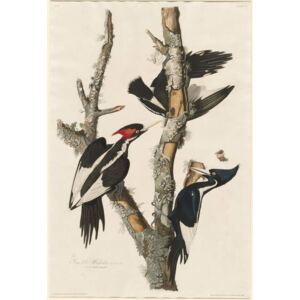 Ivory-billed Woodpecker, 1829 Reproducere, John James (after) Audubon