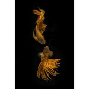Fotografii artistice Love Story of the Golden Fish, Ganjar Rahayu